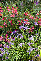 Monkeyflower, Mimulus 'Trish' and Iris douglasii flowering in California native plant front yard garden in urban drought tolerant low maintenance small space lawn alternative
