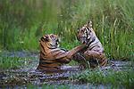 16 months old Bengal tiger cubs (Panthera tigris) playing in water, dry season, April, India, Bandhavgarh National Park