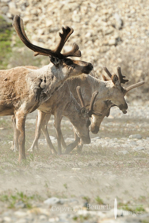 Caribou struggle against the upriver wind in the Hulahula River Canyon in Alaska's Arctic National Wildlife Refuge.