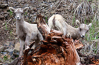 Big Horn Sheep Babies