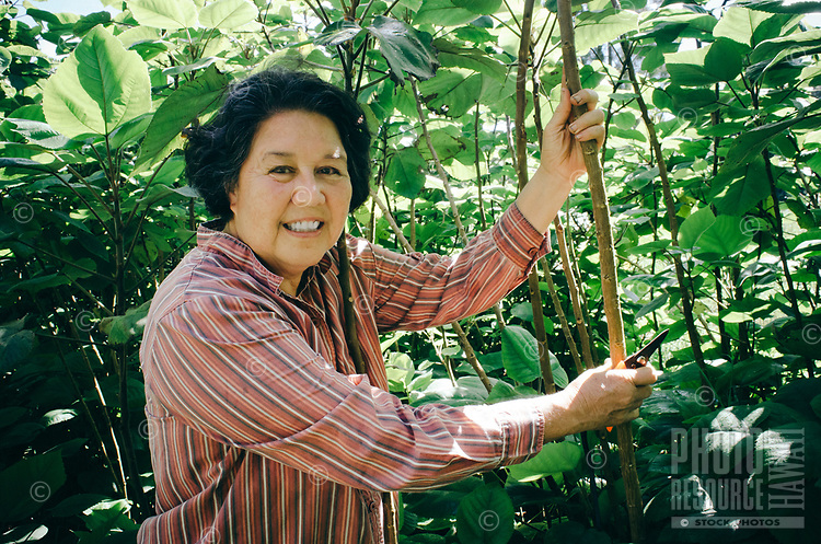 Kapa making on the Big Island: Master kapa maker Roen Hufford prunes trees in a wauke (paper mulberry) grove.