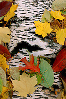Paper birch bark and fall leaves<br />