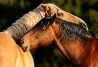 You scratch my back. I'll scratch yours. Two mustangs groom each other, a common behavior among wild horses.