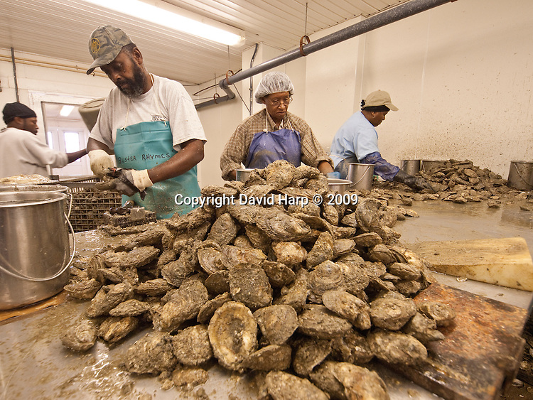 Commercial oyster shucking at MeTompkin Bay Oyster Company, Crisfield,MD