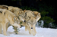 Gray Wolves (Canis lupus) involved in social behavior.  Winter