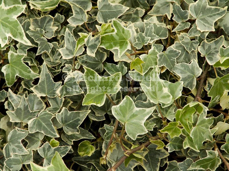 Glacier English Ivy, Hedera helix