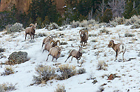 Bighorn Sheep (Ovis canadensis) rams chasing ewe that they think is ready to mate (estrus).  U.S. Rocky Mountains, December.