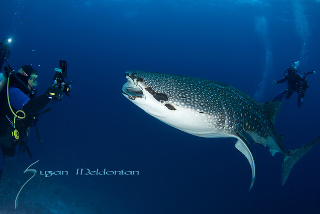 Whale shark meets divers, vertical, Rhincodon typus, Tubbataha, Philippines