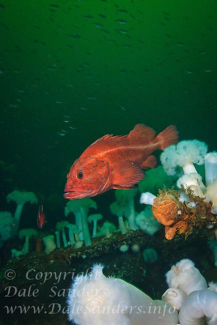 Yeloweye Rockfish ( Sebastes ruberrimus) and anemones on a shipwreck underwater in the Strait of Georgia, British Columbia, Canada.