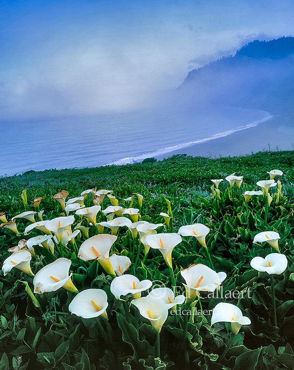 Cala Lillies, Usal Beach, Sinkyone Wilderness State Park, Lost Coast, Mendocino County, California
