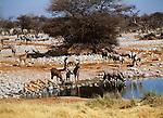 Mixed herd of springbok, greater kudu, and gemsbok drink in Arica.
