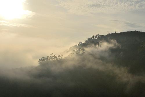 Gorillas in the Mist - Morning Mist in Bwindi  Impenetrable Forest, Uganda, one of the rare, remaining gorilla habitats