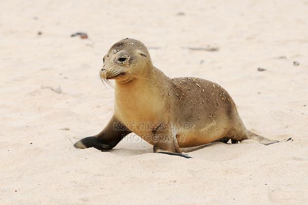 Galapagos Sea Lion (Zalophus wollebaeki), adult at beach, Espanola Island, Galapagos, Ecuador, South America
