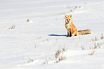 Adult red fox (Vulpes vulpes). Hayden Valley, Yellowstone, USA. January