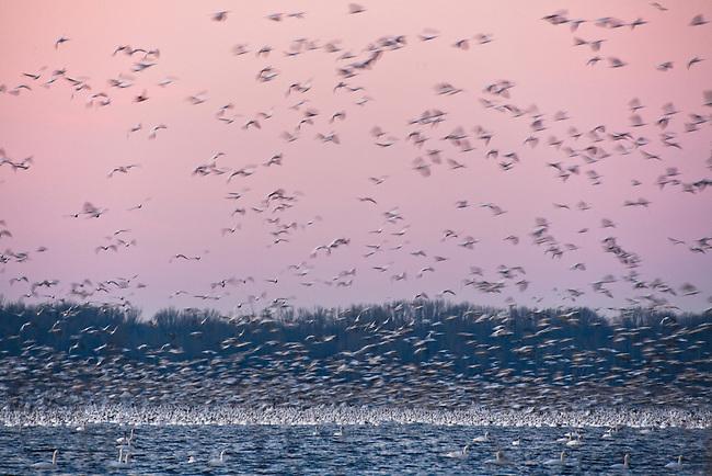 Taking to the air at first light, Pungo Lake, Pocosin Lake National Wildlife Refuge