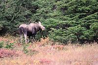 A female moose eats a snack in Alaska's Chugach State Park.
