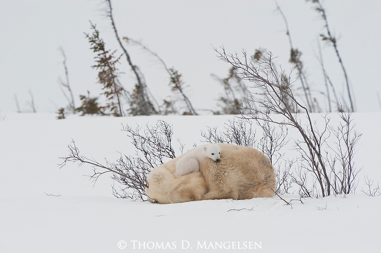 A polar bear cub naps with its mother in the soft snow of Manitoba, Canada.