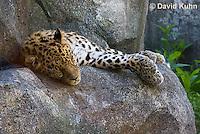 0309-1104  Amur Leopard Resting, Panthera pardus orientalis  © David Kuhn/Dwight Kuhn Photography