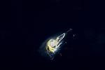 Marine Bacteria, Trichodesmium sp, Black Water Diving; Jellyfish; Plankton; larval crustaceans; larval fish; marine behavior; pelagic creatures; pelagic larval marine life; plankton creatures; underwater marine life; vertical migration marine creatures