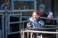 12-4-2021 Tuberculosis testing beef cattle<br /> ©Tim Scrivener Photographer 07850 303986<br />      ....Covering Agriculture In The UK....