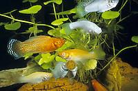 Segelkärpfling, Zuchtform, an einer Futtertablette, Poecilia velifera, Mollienesia velifera, Yucatan molly, Molly voile, Lebendgebärende Zahnkarpfen, live-bearers, Poeciliidae