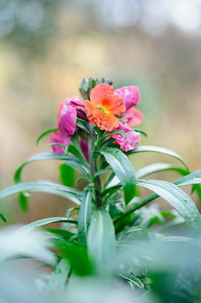 Erysimum 'Winter Orchid'