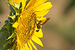 Clearwing (butterfly) Moth working at collecting nectar from a sunflower