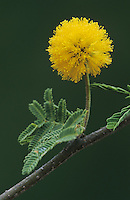 Huisache, Acacia farnesiana, blossom, Starr County, Rio Grande Valley, Texas, USA, March 2002