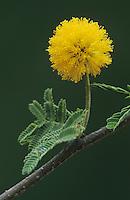Huisache, Acacia farnesiana, blossom, Starr County, Rio Grande Valley, Texas, USA, March 2002