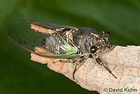 0901-0826  Dog-day Cicada, Tibicen spp.  © David Kuhn/Dwight Kuhn Photography.