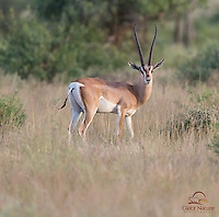 Young male Grant's Gazelle, Samburu