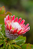 King protea (protea cynaroides) growing at Alii Kula lavender farm at the base of Haleakala, Kula