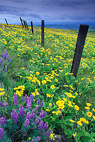 Fence through field of lupine and balsamroot, Dalles Mountain Ranch State Park, Columbia River Gorge National Scenic Area, Washington