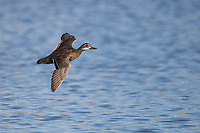Garganey (Spatula querquedula), female, a very rare visitor from Eurasia, in flight at the Salton Sea State Recreation Area, Mecca, California.
