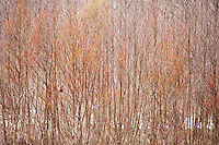 A Japanese macaque is well camouflaged in the spring landscape of bare willow branches at Kamikochi, Nagano Prefecture.