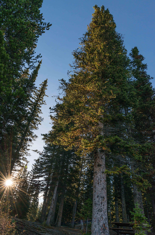 Enormous Spruce and Pine Trees Greet the Sunrise, Canadian Rockies