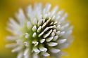 White Clover {Trifolium sp.} abstract. Nordtirol, Austrian Alps. June.