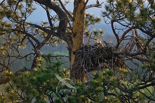 Bald Eagle sitting on eggs in nest in ponderosa pine tree.