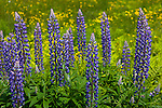 Lupines blooming in Searsport, Maine, USA