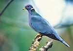Band-tailed pigeon, Washington