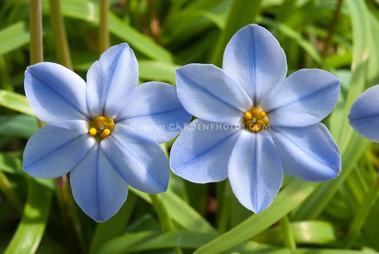 Ipheion 'Rolf Fiedler' blue flowers in spring blooms