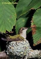 HU10-093x  Ruby-throated Hummingbird - female incubating young -  Archilochus colubris