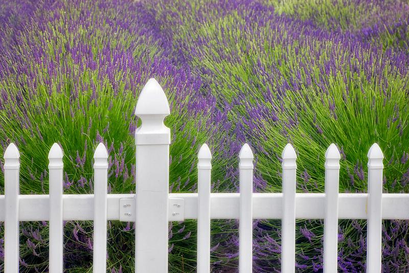 Fence with lavender. Jardin du Soleil lavendar farm. Washington