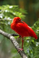 CALI-COLOMBIA-21-06-2006.El ibis escarlata (Eudocimus ruber), también llamado corocora, garza roja, sidra o guará es una especie  de ave  pelecaniforme  de la familia  Threskiornithidae ,  nativa de Sudamérica. /  The scarlet ibis (Eudocimus ruber), also called corocora, cider or guará is a species of bird pelecaniforme Threskiornithidae, family native to South America. Photo: VizzorImage/Luis Ramirez /Staff.