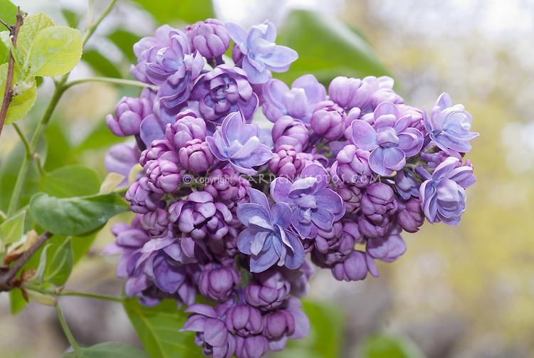 Syringa Alice Christenson, double lavender lilac developed by Hulda Klager, fragrant spring blooming shrub