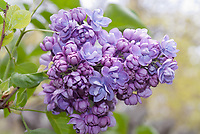 Syringa Alice Christenson, double lavender lilac developed by Hulda Klager, fragrant spring blooming shrub