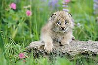 Lynx, young, USA