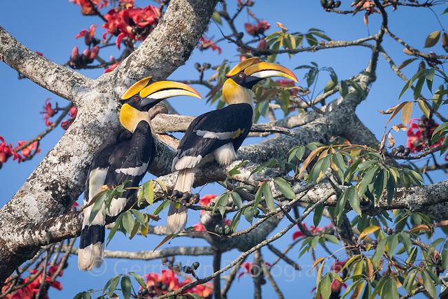 Great Hornbill (Buceros bicornis). Kaziranga National Park, India.