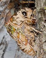 0901-0807  Emerging Adult Dog-day Cicada, Tibicen spp.  © David Kuhn/Dwight Kuhn Photography.
