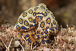 Blue-ringed octopus(Hapalochlaena lunulata) hunting.
